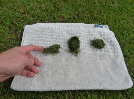 Wads of grass as a result of feed packing around the teeth